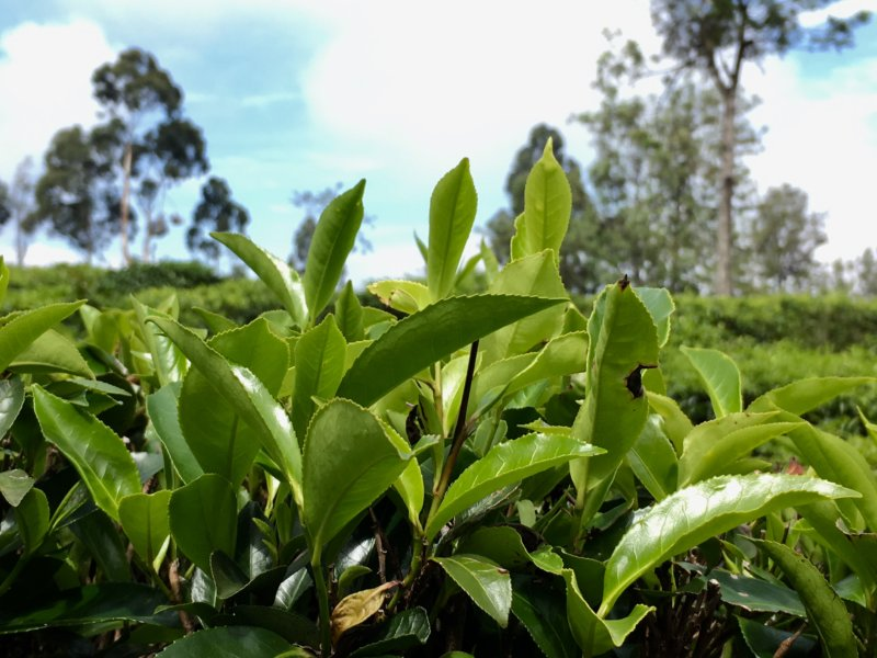 Ceylon tea leaves