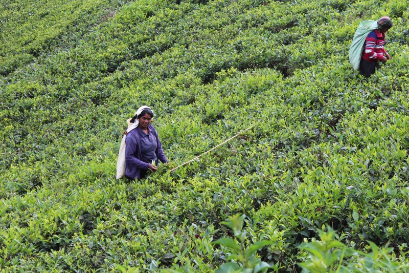 Women working on a tea plantation
