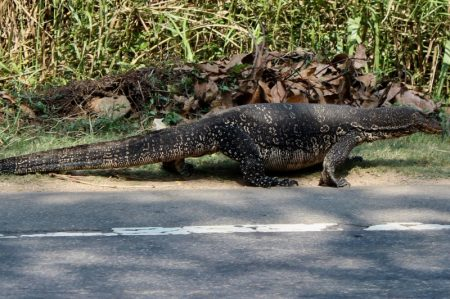 Sri Lankan wildlife on the road