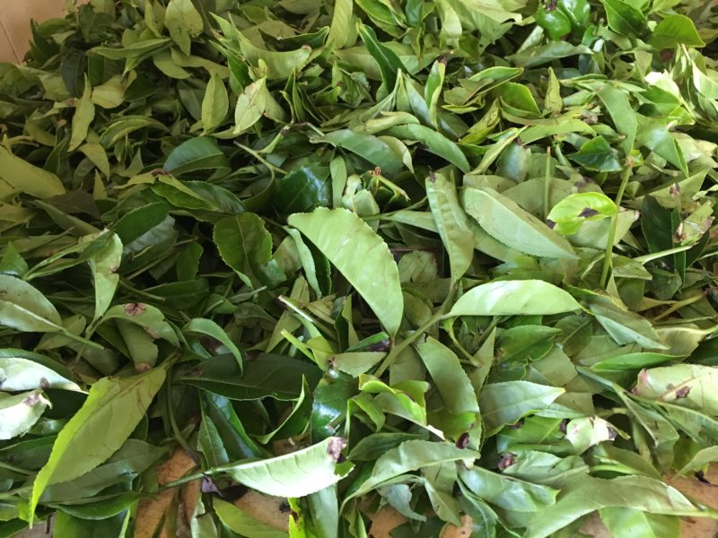 Tea leaves at Liddesdale tea factory