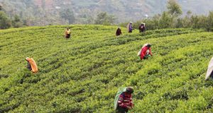 Women picking Ceylon tea