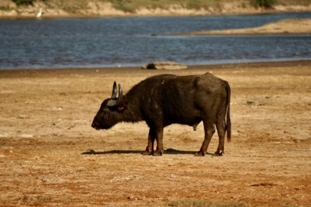Yala National Park buffalo