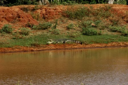 Yala National Park crocodile