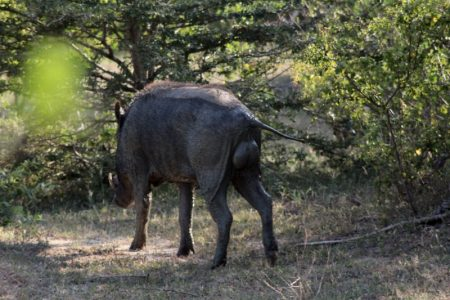 Yala National Park wild boar