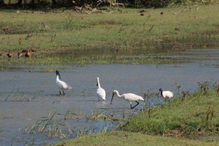 Yala birds in river