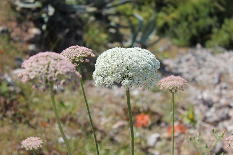 Mallorcan wildflowers