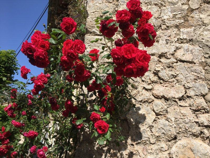 Valldemossa roses, Serra de Tramuntana