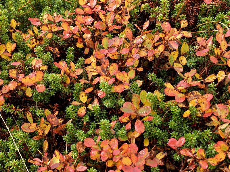 Colors of Lapland, Arctic berries
