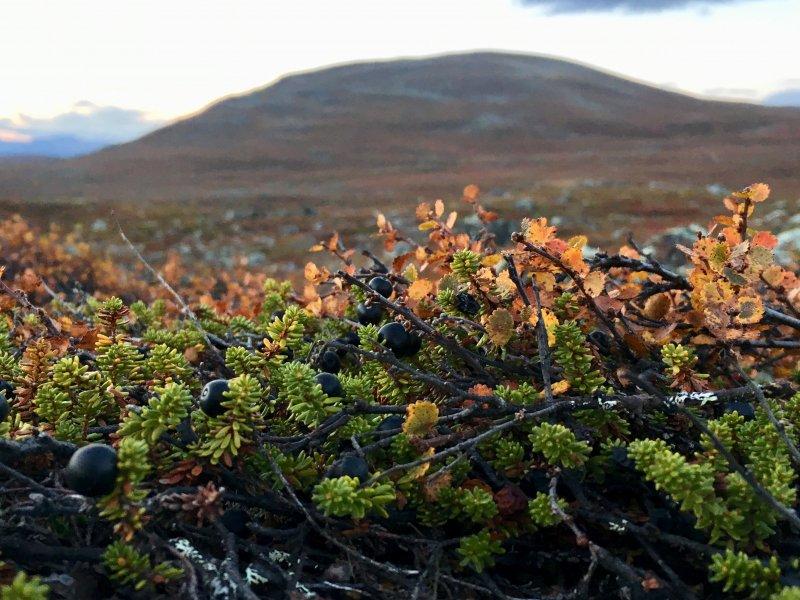 Arctic crowberries