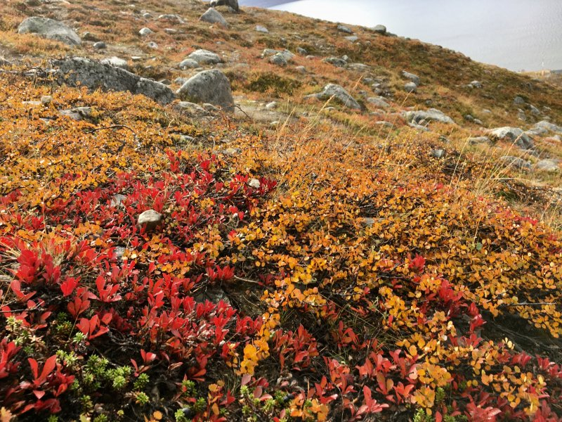 Arctic autumn colours, Saana fell