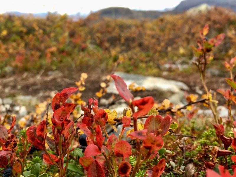 Typical Lapland autumn colors