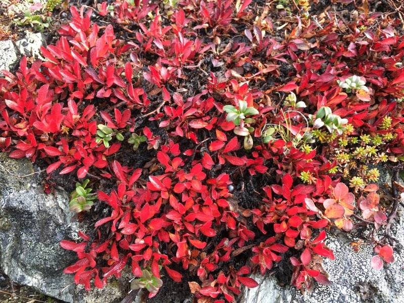 Colors of Lapland, wild plants