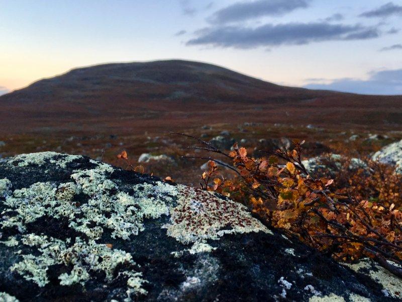 Lichen, reindeer food on Lapland fells