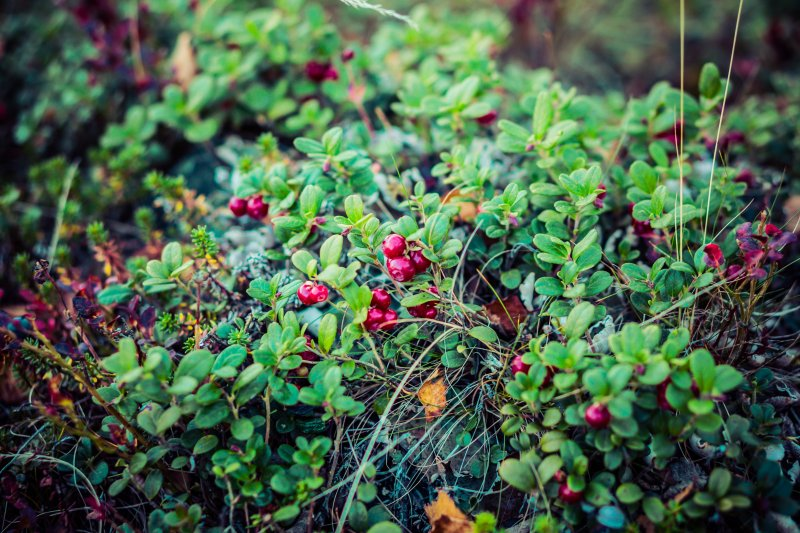 Lapland lingonberry