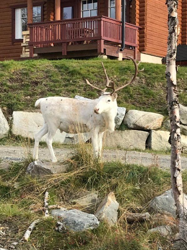 Reindeer in the village of Kilpisjärvi