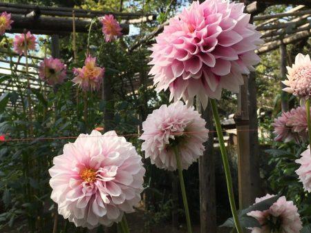 Ueno Park autumn Dahlia exhibition, Tokyo