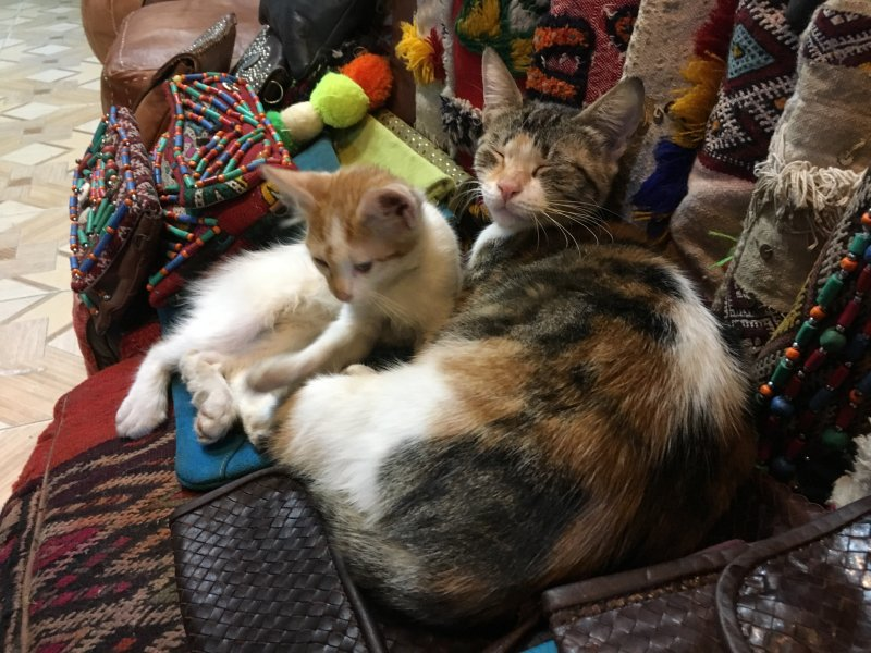 Moroccan cats in the carpet souk of Marrakech