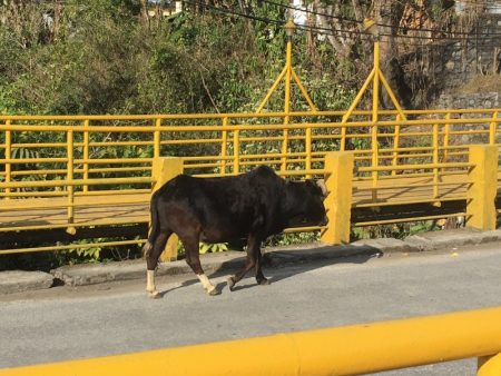 Cow on the bridge