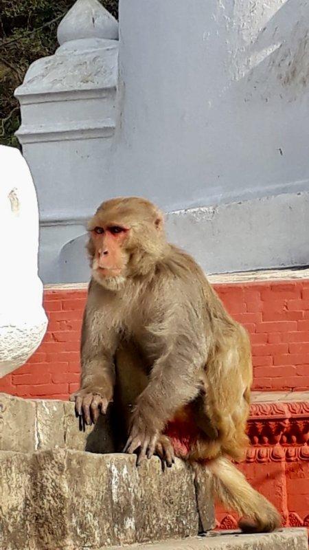 Monkey in Swayambbunath, the Monkey Temple of Kathmandu
