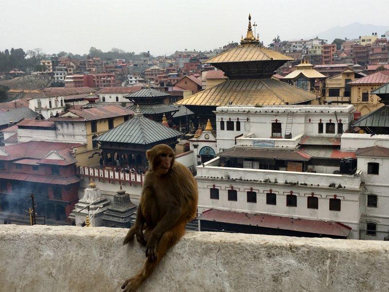 Pashupatinath Hindu Temple and temple monkey