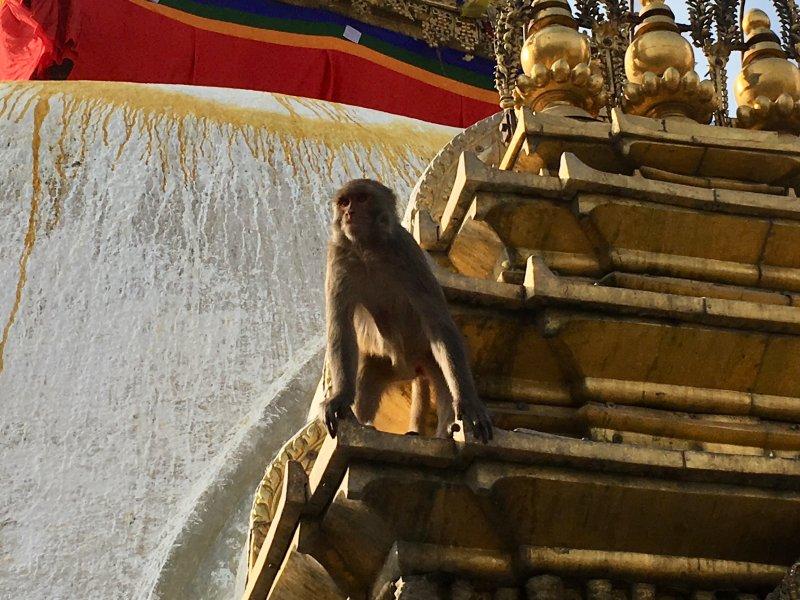 Temple monkey, Swayambbunath, Kathmandu