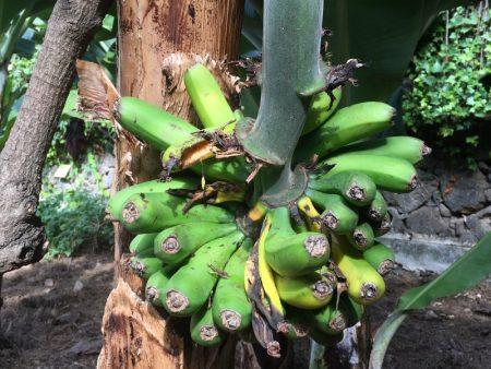 Bananas, Tenerife