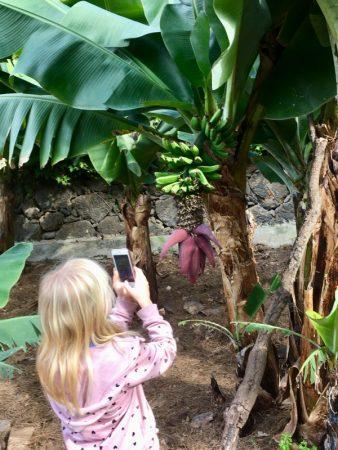 Examining bananas, Tenerife