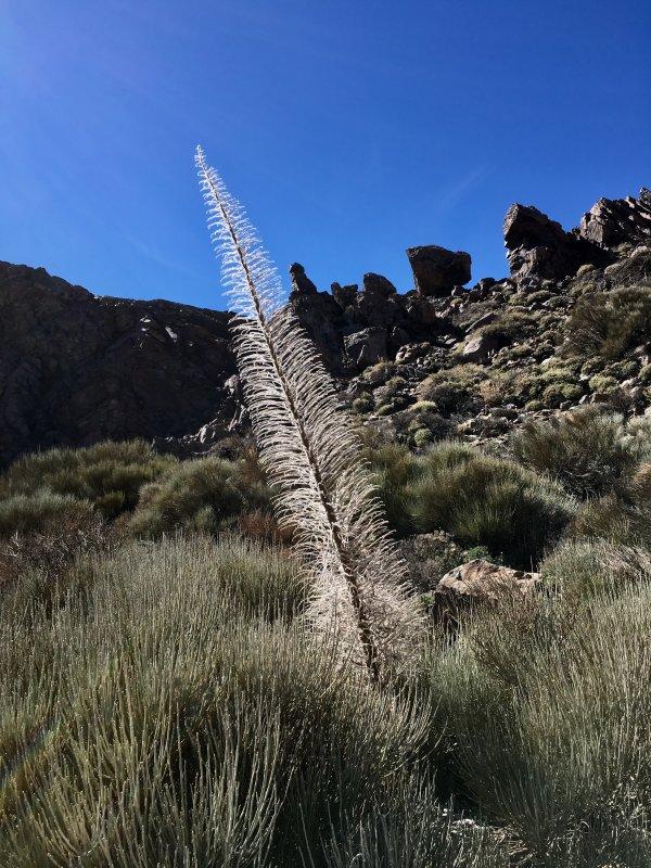 Flora of Parque Nacional del Teide