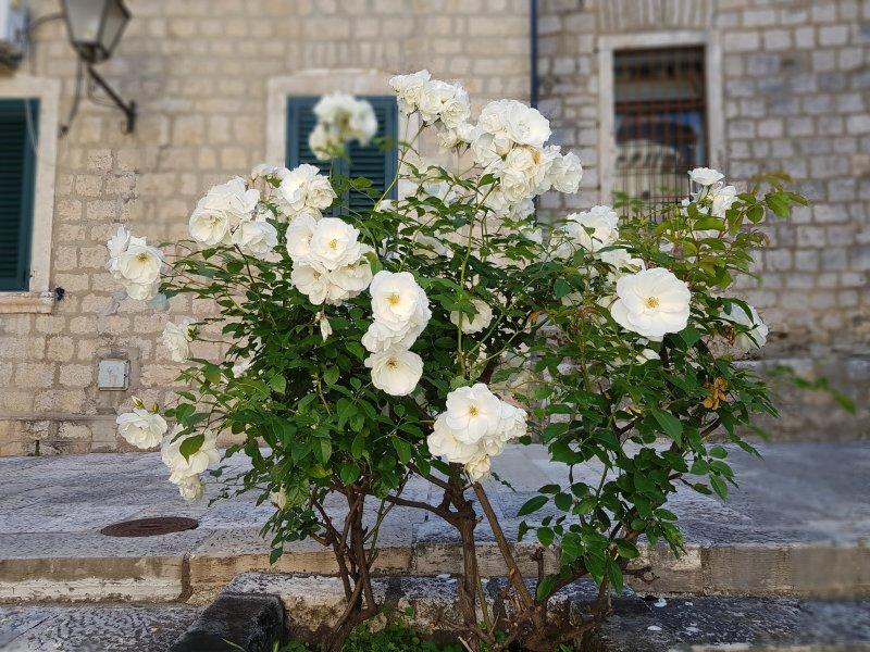 Herzeg Novi roses