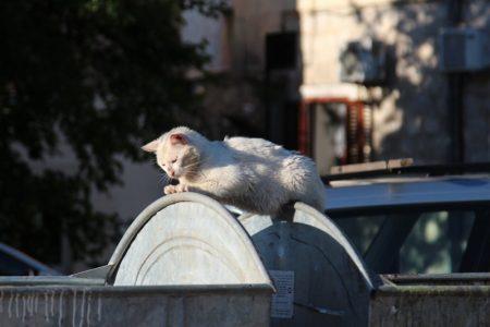 Kotor cat