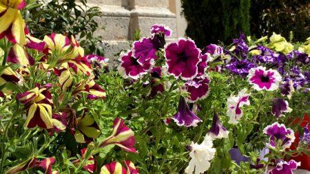 Perast flowers