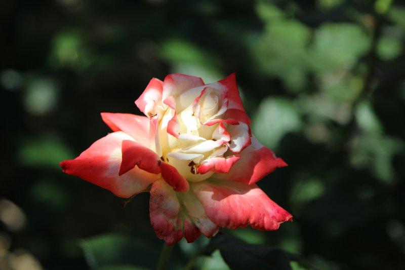Ulcinj rose