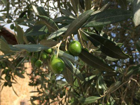 Agriturismo olives, Tuscany, Italy